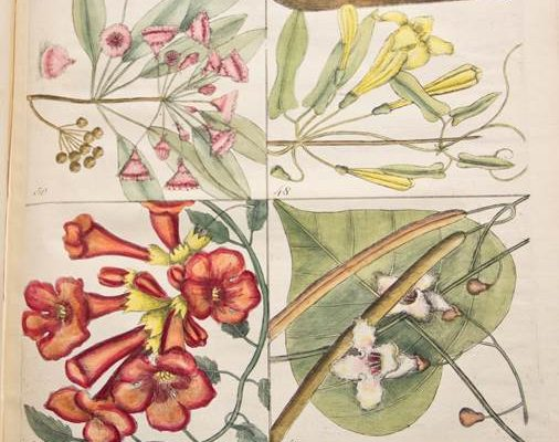 A color plate from Catesby's Hortus Europae Americanus: Collection of 85 Curious Trees and Shrubs