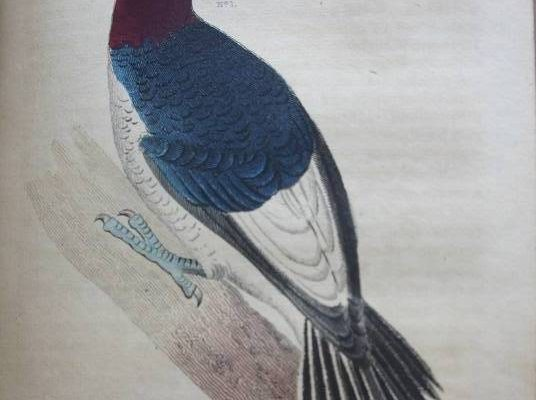Drawing of bird with red head, blue upper body, white under belly, black and white lower body, and black tail feathers