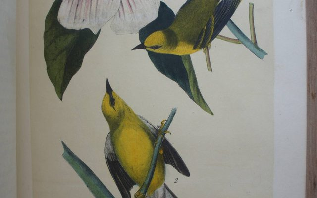 Drawing of Maryland Yellow Throat
