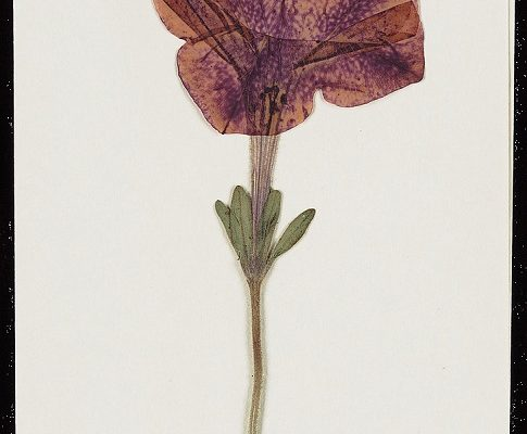 A pressed flower sent to O'Keeffe by Alfred Steiglitz.