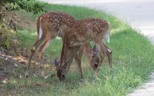 Pair of fawn eating grass