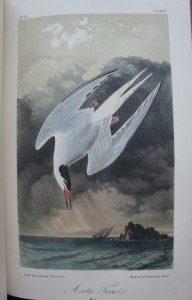 """Arctic Tern."" From Audubon's Birds of America, 1861 edition."
