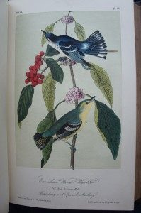"""""""Cerulean Wood-Warbler."""" From Audubon's Birds of America, 1861 Edition."""