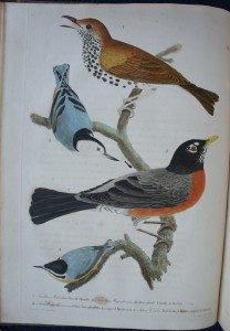 Wood Thrush, Robin, and Nuthatch, Wilson's American Ornithology, Vol. 1, 1808.