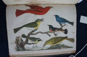 """Maryland Yellow Throat, Yellow-Breasted Chat, Summer Red Bird, Female, Indigo Bird, and American Redstart."""" From American Ornithology, Wilson, 1808."""