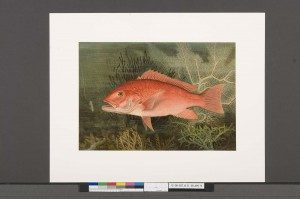 After: January 2014. Samuel Kilbourne, Red Snapper from Game Fishes of the United States (New York: Charles Scribner's Sons, 1879), 1879 – 1880, Chromolithograph, Crystal Bridges Museum of American Art Library, Bentonville, Arkansas. Photography by Heugh-Edmondson Conservation Services, LLC.