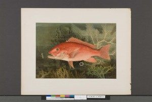 Before: September, 2012. Note small tears (circled in white). Samuel Kilbourne, Red Snapper from Game Fishes of the United States (New York: Charles Scribner's Sons, 1879), 1879 – 1880, Chromolithograph, Crystal Bridges Museum of American Art Library, Bentonville, Arkansas. Photography by Heugh-Edmondson Conservation Services, LLC.