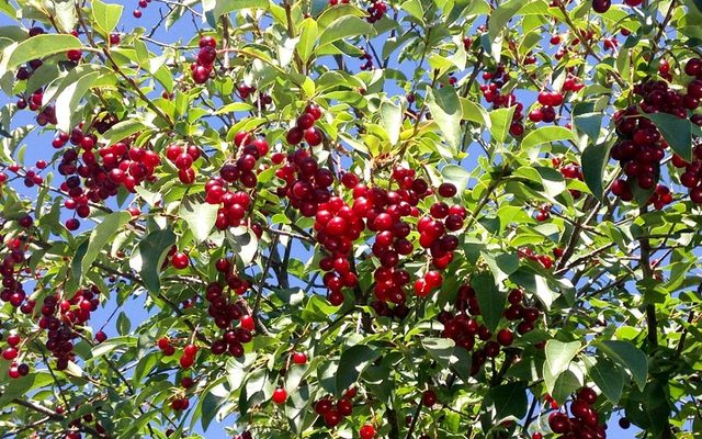 Chokecherries - bright red berries amongst green leaves on a tree