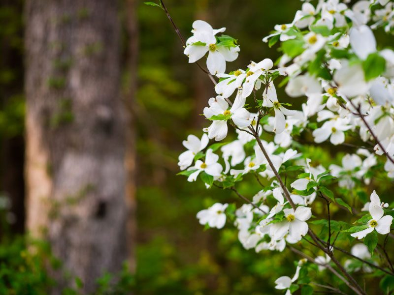 North Forest Trail - blossoming dogwoods