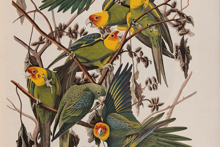 John James Audubon, Carolina Parrot