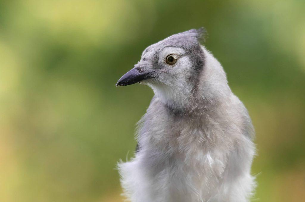 Juvenile Blue Jay. Photo by Allison Raley.