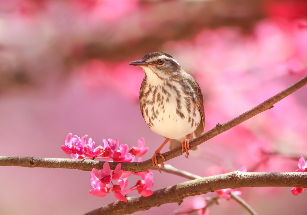 A Louisiana Waterthrush perches on a blooming redbud tree at Crystal Bridges. Photo by Allison Raley.